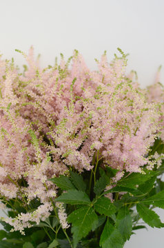 Pink astilbe flower on a white isolated background with clipping path. Closeup. For design. Nature.