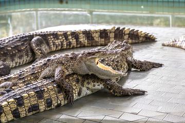 Crocodile zoo in Pattaya