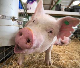 Portrait of a small piglet piggy pig indoor in a farm barn closeup
