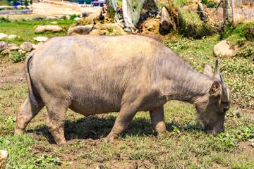 Water Buffalo in Sapa, Vietnam