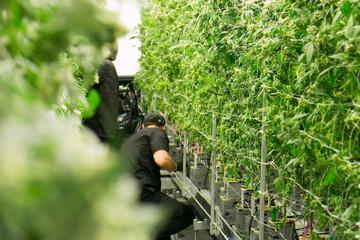 Cannabis Workers Trim Marijuana Plants