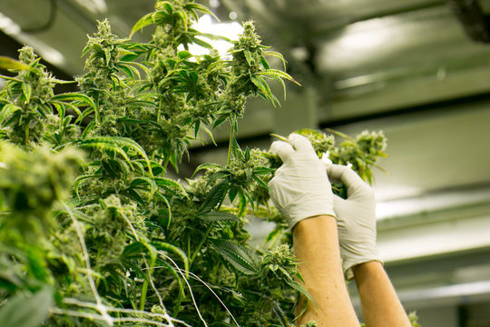 Hands Trim Cannabis Plant Marijuana Indoor Farm