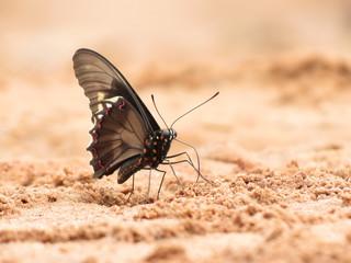 Butterfly Black 4
