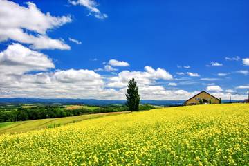 Beautiful hills and landscape of yellow mustard field (Nanohana) at the Patchwork Road in Biei town, Hokkaido.