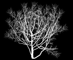 bare tree white silhouette isolated on black