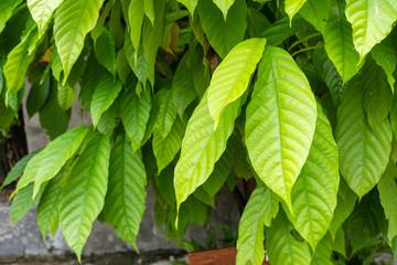 Green leaf of cocoa tree
