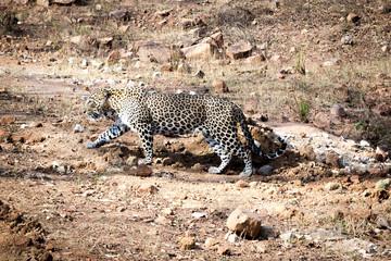 A leopard walking towards a prey