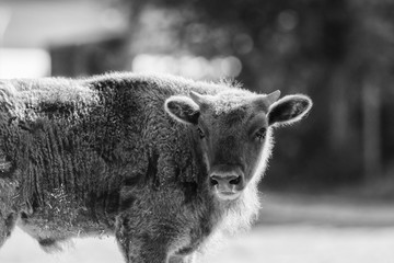 A wisent out in the meadow, black and white