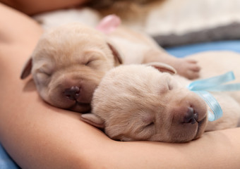 Adorable yellow labrador puppy dogs sleeping on owner arm