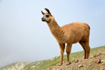 Brown llama (lama glama) in mountain landscape.