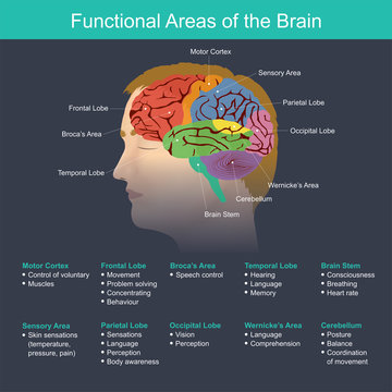 Functional Areas of the Brain. Anatomy body infographic. Illustration.