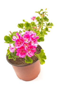 Geranium pelargonium flower in pot isolated on white