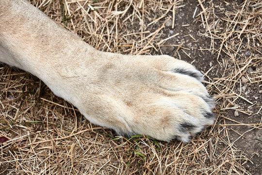 Lion's big paws