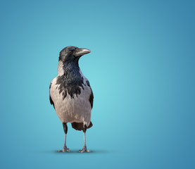 large wild crows isolated