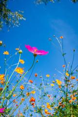 파란 가을하늘과 코스모스