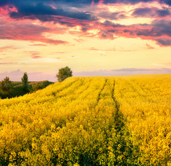 Calm evening scene in the field of blooming colza