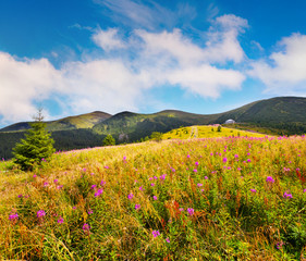 Wall Mural - Amazing summer landscape in the Carpathians with fields of blooming beggars-ticks flowers