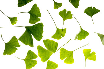 Wall Mural - the background from fresh green Ginkgo biloba leaves