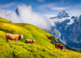 Cattle on a mountain pasture.