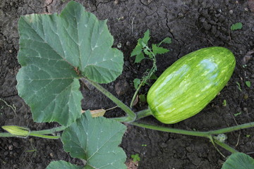 Ripe pumpkin in the garden