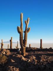 Cactus island in the Salar de Uyuni, Bolivia