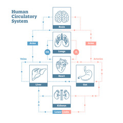 Human Circulatory System vector illustration diagram poster, blood vessels scheme. Clean outline style medical infographic.