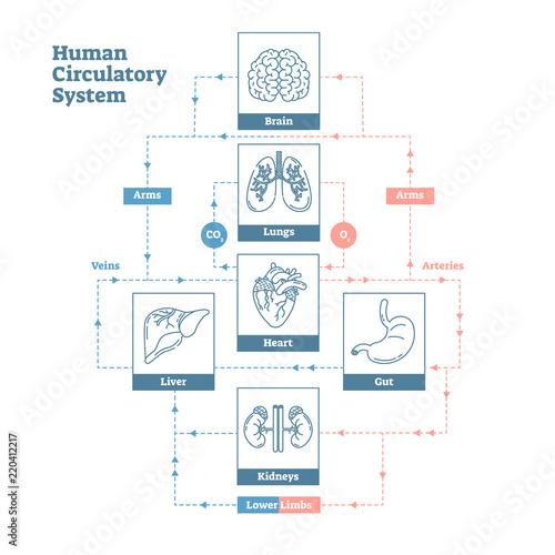 Human Circulatory System Vector Illustration Diagram Poster Blood