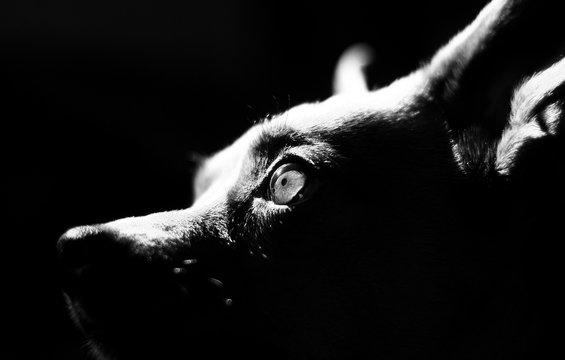 Black and white photo of the dog's eyes