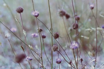 Vintage soft blue toned autumn field composition devils-bit scabious. Copy space. Nature background. Greeting card template