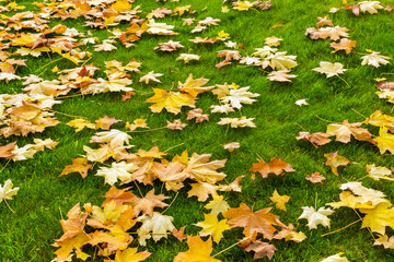 Yellow and orange fallen maple leaves on a bright green lawn. Autumn background with orange leaves on green grass