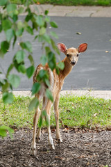 spotted white tail deer fawn standing looking back at the camera vertical