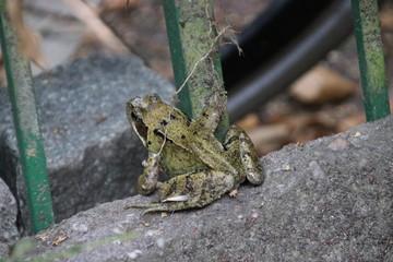 Frog in the Garden in Nieuwerkerk aan den IJssel in close up in the netherlands.