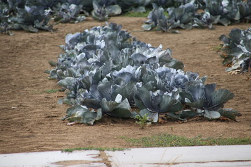 Red cabbage on the dry fields in the Noordoostpolder in the Netherlands.
