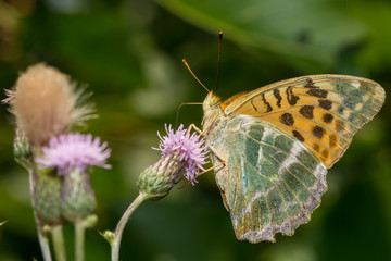 Kaisermantel sitzt auf einer Blüte