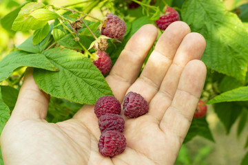 to pick berries of red raspberries by hand, close-up