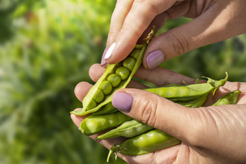 Open pea pod in the hands of a girl on a garden background. Copy space for your text