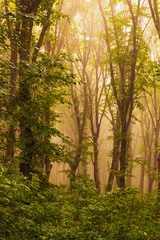 Dense trees in the woods in the mist during the sunrise_