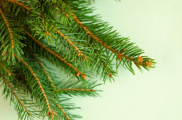 Branches of spruce on pastel background.