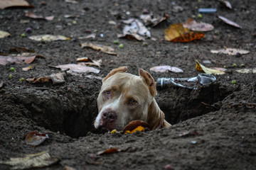 a pit bull in a hole