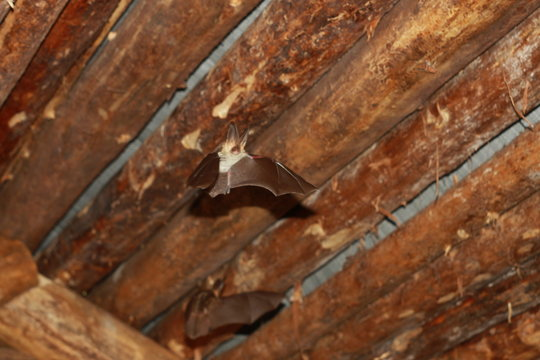 Bat flying in a wood house in the night