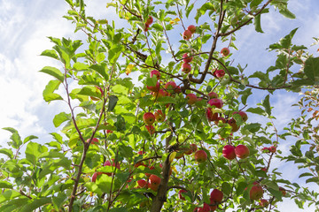 Wall Mural - Red apples on tree branches