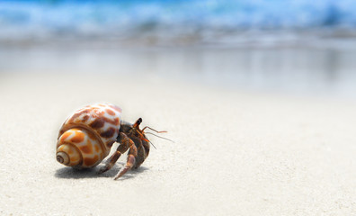 hermit crab walking on the beach.