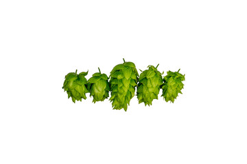 Chinook American brewing hops isolated on white background