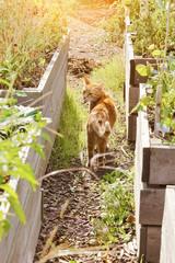 chat roux tigré dans jardin potager