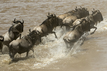 wildebeest in dust