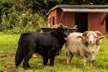 Hund und Schaf Wall mural