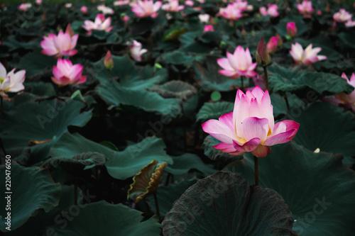 Beautiful pink water lily or lotus flower in pond stock photo and beautiful pink water lily or lotus flower in pond mightylinksfo