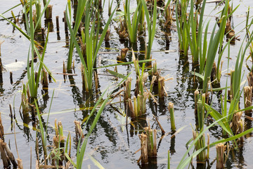 reeds and sedge