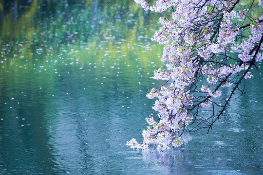 【桜】水面・ソメイヨシノ・雨