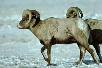 Bighorn Sheep Scenic (Ovis Canadensis)
